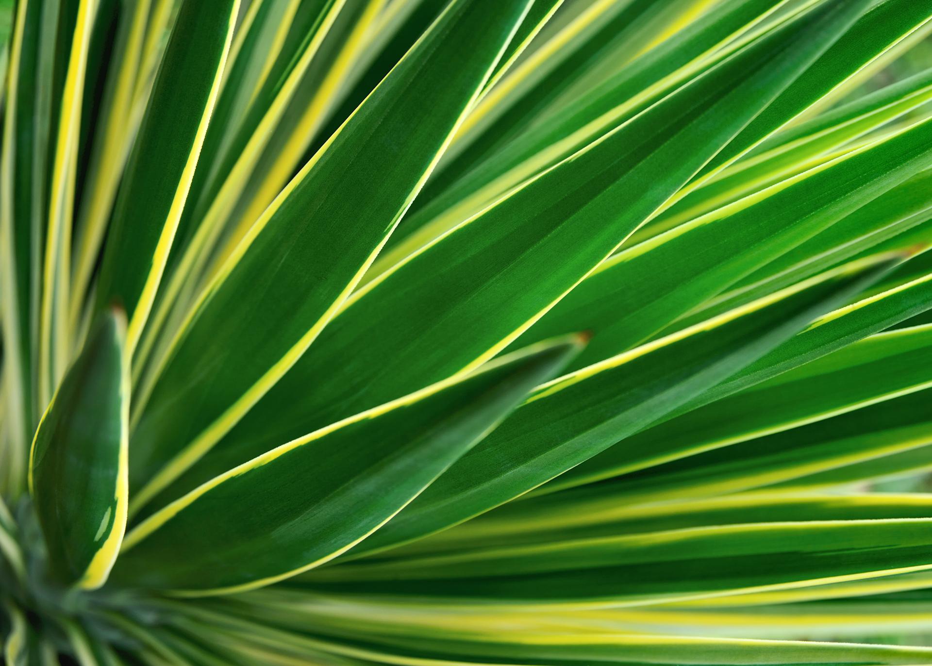 Yucca-Foamation-50_Henry-Lamotte-Oils